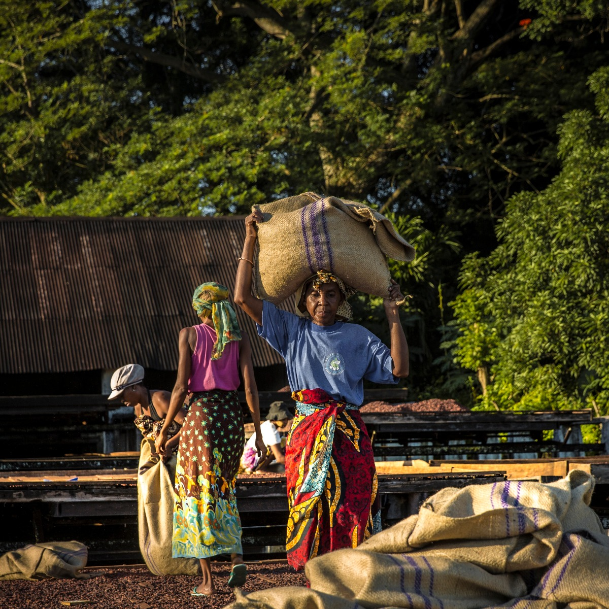 MANJARI 64% Millot Plantation Info